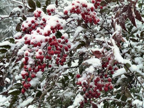 Berrybush
